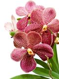 Purple Vanda orchid Royalty Free Stock Images