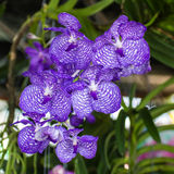 Purple Vanda Orchids Stock Photo