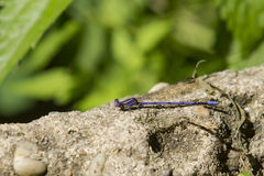 Purple Variable Dancer DamselFly on Ledge. This beautiful and delicate lavender damselfly with purple eyes and a blue tipped abdomen resting on a tan cement Stock Photography