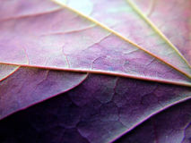 Purple veined leaf Stock Images