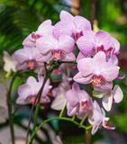 Purple-Veined Orchids in Singapore. Purple-veined white orchids growing in a Singapore garden Royalty Free Stock Photo