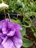 Purple Veins Stock Photos