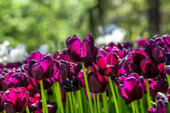 Purple velvet leaf tulips Royalty Free Stock Image