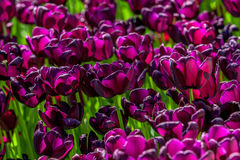 Purple velvet tulips. The blooming purple velvet leaf tulips in the spring Stock Photo