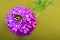 Purple verbena flower Royalty Free Stock Images