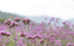 Purple verbena flower. Purple flower field Beautiful verbena in mountain background royalty free stock photos