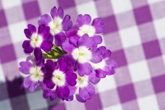 Purple verbena flower Stock Image