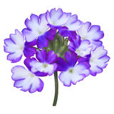 Purple verbena flowers Royalty Free Stock Photo