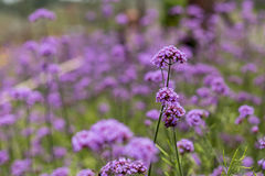 Purple verbena. In soft fogus Royalty Free Stock Photo