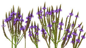 Vervain Verbena. Purple vervain swamp verbena hastata wild flower isolated on white Stock Image