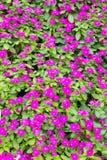 Purple vinca flowers Stock Images