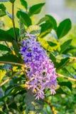 Purple vine flowers. Stock Photos