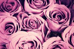 Purple vintage roses background, retro style process.  stock photography