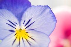 Purple Viola Royalty Free Stock Image