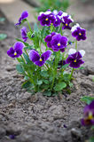 Purple viola closeup Royalty Free Stock Photo