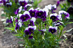 Purple viola closeup Royalty Free Stock Images