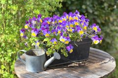 Viola in a flowerpot on a garden table with a little watering can. Purple viola in a flowerpot on a garden table with a little watering can stock photography