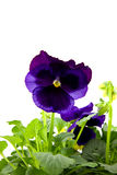 Purple viola flowers in closeup Royalty Free Stock Photo