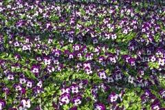 Purple viola nursery. Flowerbed in a greenhouser for the nursery of viola stock photo