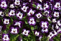 Purple viola tricolor Royalty Free Stock Image