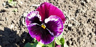 Purple Viola tricolor flower photo royalty free stock images