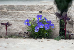 Purple Violas. A bunch of purple pansies bloom against a paving stone Stock Photos