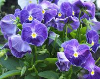 Purple Violas Or Pansies In Bloom. Purple Violas or pansies with yellow centres in bloom in spring Stock Photo