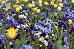 Purple Violas and Yellow Tulips. Beautiful garden flowers in spring Stock Images