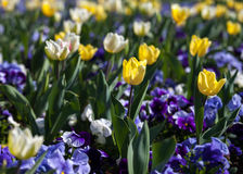 Purple Violas and Yellow Tulips. Beautiful garden flowers in spring Royalty Free Stock Photography