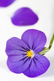 Purple violet Royalty Free Stock Photo