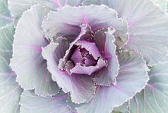 Purple or Violet Cabbages or Kale for Decoration Royalty Free Stock Photography