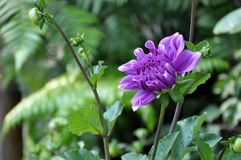 Purple violet chrysanthemum flower on a green background. Ultra violet is the color of the year 2018. Chrysantemum is a typical, traditional flower for an Stock Photo