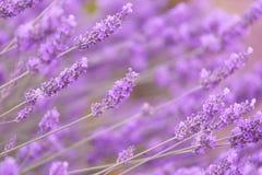 Purple violet color lavender Stock Photo