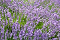 Purple violet color lavender flower field Royalty Free Stock Photos