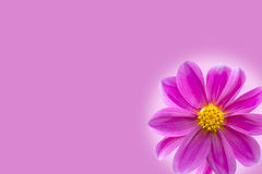 Purple, violet flower Stock Photos