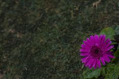 Purple or Violet Flower : Gerbera Daisy with Lawn background. Daisy flower orange / zinnia on a green lawn blurred background. Gerbera Daisy. Pebbles and lawn stock photos