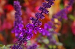 Purple, Violet, Flower, Lilac Stock Images