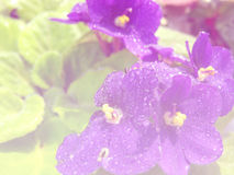 Purple violet flower wit filters color Royalty Free Stock Photography