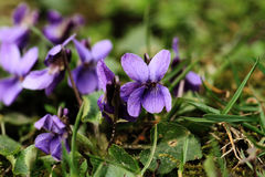 Purple violet flowers Royalty Free Stock Images