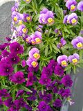 Purple and violet flowers in a pot royalty free stock photos