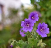 Purple violet flowers of geranium with blurred green background, stock images