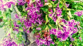 Purple violet flowers Royalty Free Stock Image