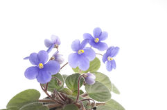 Purple violet flowers over white background Royalty Free Stock Images
