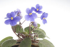 Purple violet flowers over white background Stock Images