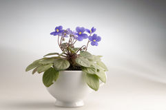 Purple violet flowers in a pot royalty free stock photo