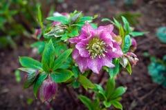 Purple violet Helleborus flowers blooming in early spring in the garden stock image