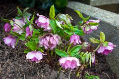 Purple violet Helleborus flowers blooming in early spring in the garden stock photo