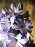 Purple violet hyacinth flower nature macro photo.  Stock Images