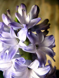Purple violet hyacinth flower nature macro photo.  Royalty Free Stock Photo
