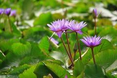 Multiple purple lotus flowers. 4 purple/violet/indigo lotus flower in bloom from The Lotus Pond near ArtScience Museum Stock Photos